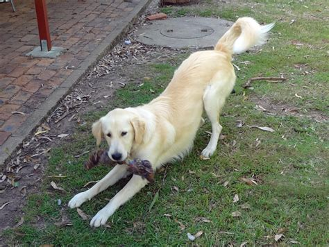 golden retriever rescue queensland rescue golden retriever qld darcy on trial adoption large golden retriever x