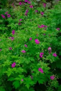Hardest Flowers To Grow Geranium Psilostemon Hard To Say But Easy To Grow Great