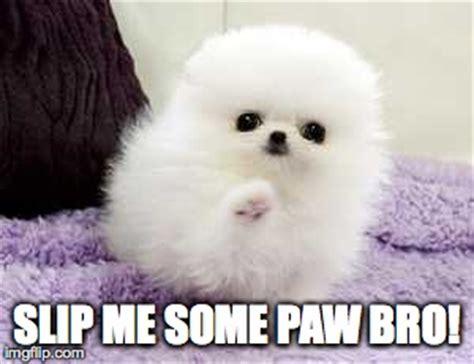 pomeranian meme pomeranian puppy high five imgflip