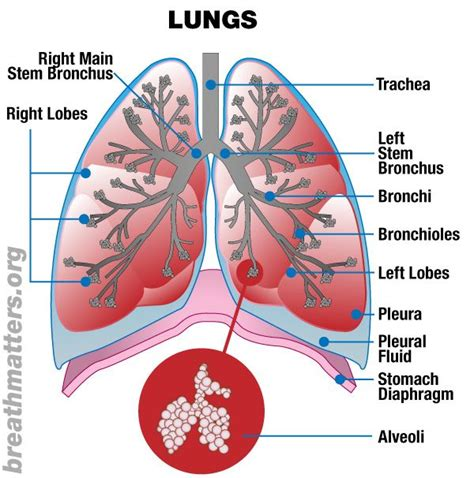 sections of the lungs lung anatomy diagram what is copd breath matters