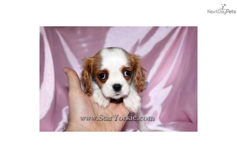 teacup cavalier king charles spaniel puppies for sale cavalier king charles spaniel puppy for sale near los angeles california 62c40c6e 3d61