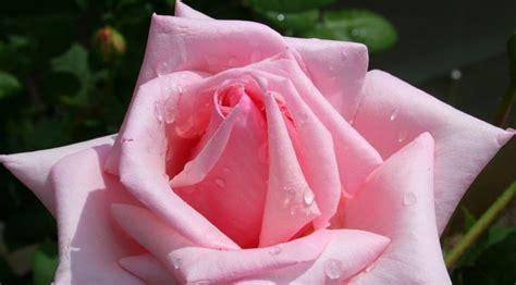 Obat Cuci Mata Kuning novia risdiani 08 enam jenis bunga yang bermanfaat untuk
