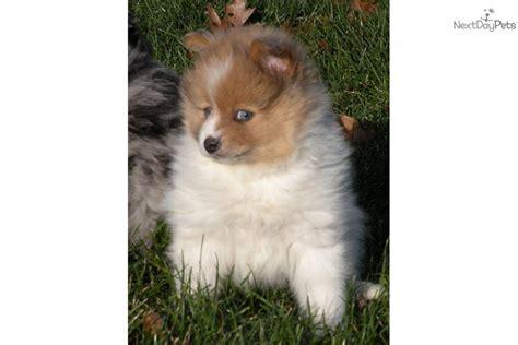 blue eyed pomeranian for sale pomeranian puppy for sale near battle creek michigan 51545550 0a81