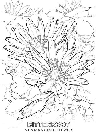 printable state flowers montana state flower coloring page free printable
