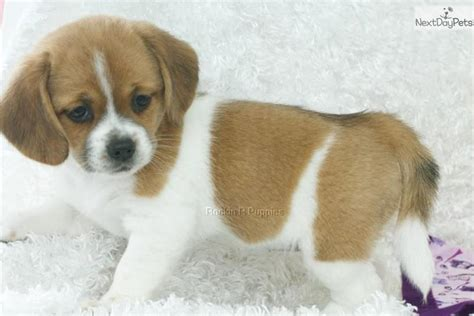 peagle puppies for sale puggle puppy for sale near springfield missouri 0cb601d4 3fb1