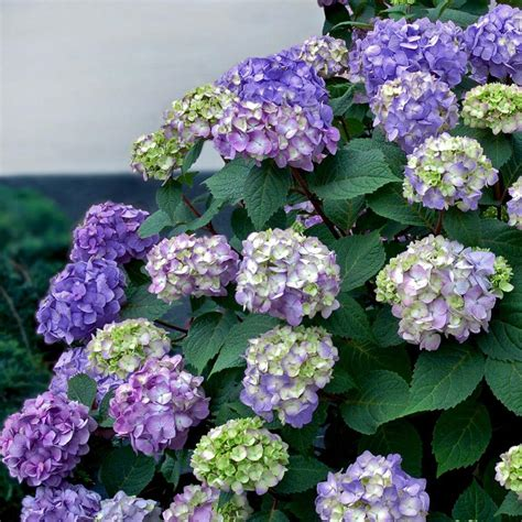 buy flowering shrubs endless summer 1 gal bloomstruck hydrangea 26351 the