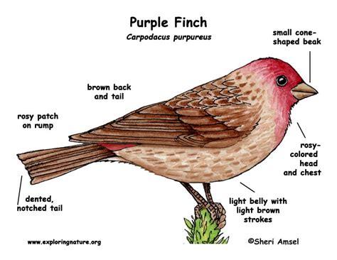 finch purple