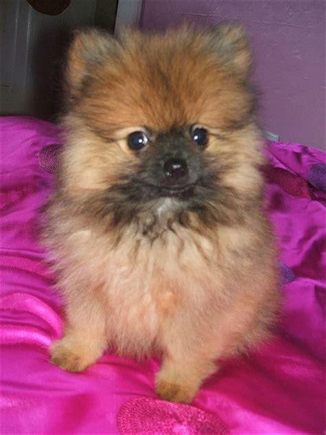 nose pomeranian pomeranian puppy with nose jpg