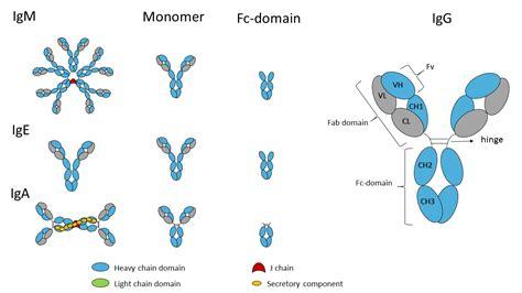 j protein immunoglobulins recombinant immunoglobulin fc domains ig fc domains