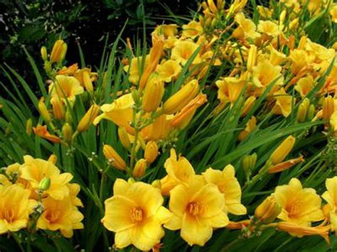 Yellow Flower Garden Gardening Landscaping Yellow Flower Garden Ideas Flowers Garden Design Ideas Flower Bed