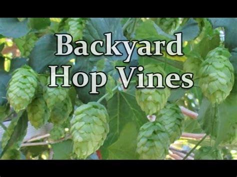 backyard hops backyard hop vines grown organically 1st year youtube