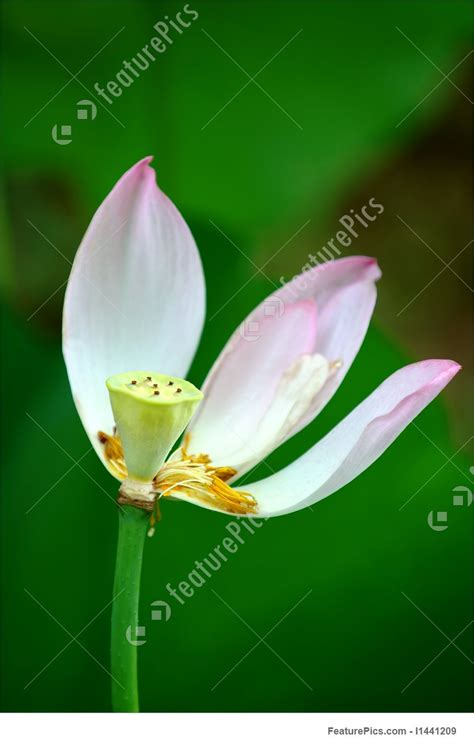lotus flower number of petals flowers petals of lotus stock picture i1441209 at