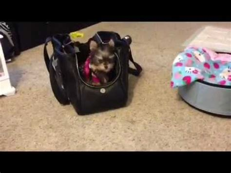 world s smartest yorkie misa minnie smartest yorkie puppy 19 wks
