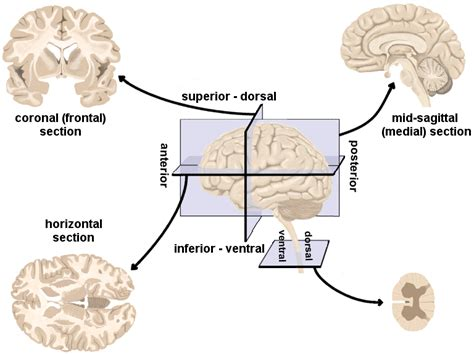 Neurolearn Human Brain Directions Cross Sections And