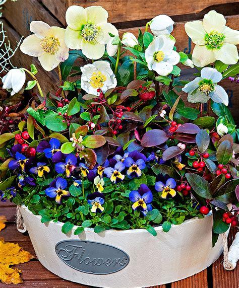 fiori invernali da vaso fiori da vaso invernali cavoli ornamentali with