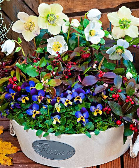 fiori per aiuole invernali acquista mix di fiori invernali bakker