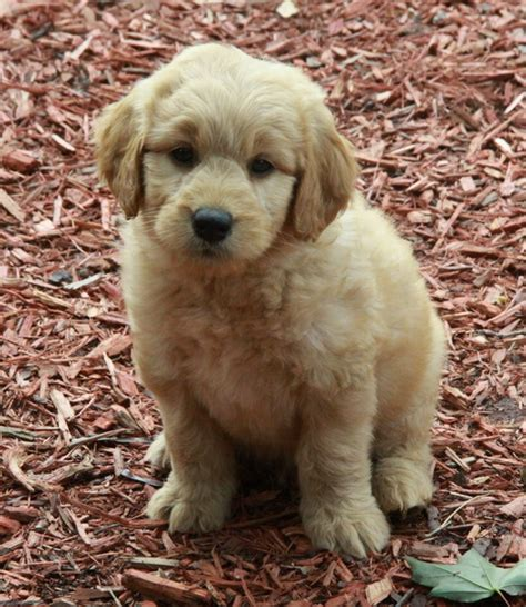 golden labradoodle puppy goldendoodle puppies for sale dogs for sale puppies for sale in ontario canada