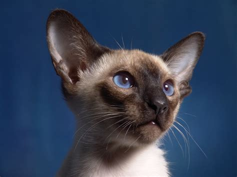 how to adopt a how to adopt a siamese cat