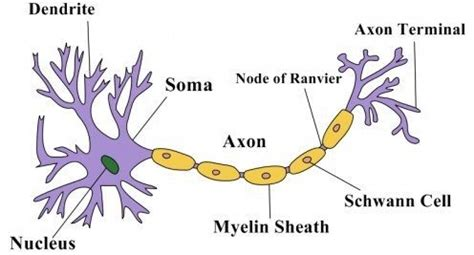 nerve cell diagram what is the structure of a nerve cell quora
