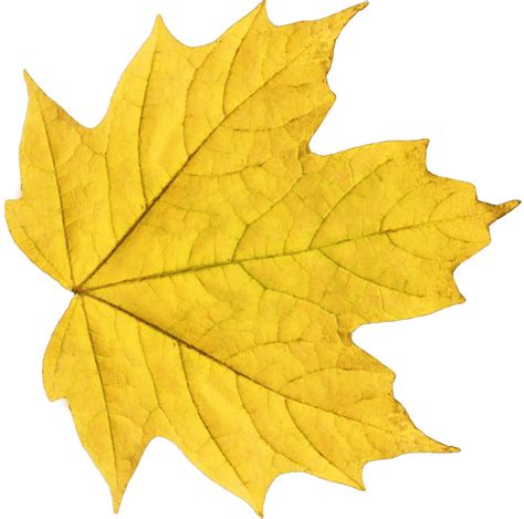 leaf pattern png yellow maple leaf transparent png stickpng