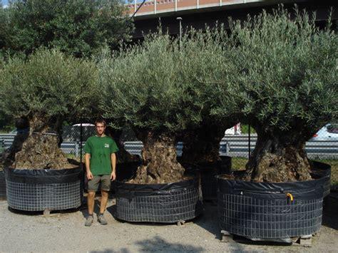 prezzi ulivi da giardino ulivi secolari azienda florovivaistica rusconi luigi