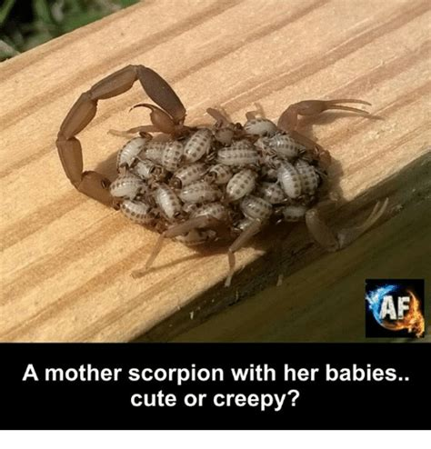 Scorpion Meme - a mother scorpion with her babies cute or creepy creepy