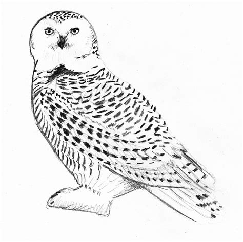 coloring page snowy owl snowy owl coloring pages www imgkid com the image kid