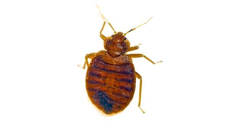 california bed bug law bed bug lawyer 28 images bed bug attorneys bed bug