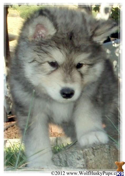 wolf puppies for sale in ohio 30 best images about wolves on wolves australian shepherd mix and a wolf