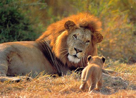 imagenes leones cazando imagenes de leones abril 2013