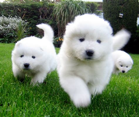 samoyed puppies colorado puppy image gallery