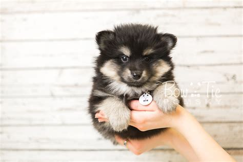 mini pomeranian husky for sale 1st puppy 43 boy bowtie pomsky world