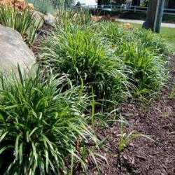 onlineplantcenter  gal big blue lily turf plant lacl