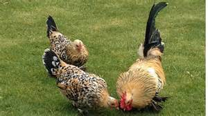 Best Backyard Egg Laying Chickens - booted bantam chicken breed the chicken center