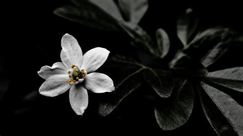 wallpaper flower star star of bethlehem wallpaper 13284