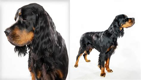 setter rottweiler mix gordon setter rottweiler mix www imgkid the image kid has it