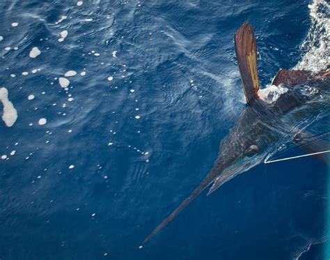 blue marlin fish swimming