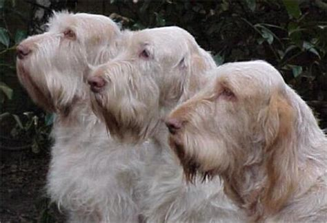 spinone italiano puppy spinone italiano on puppys dogs and pointers