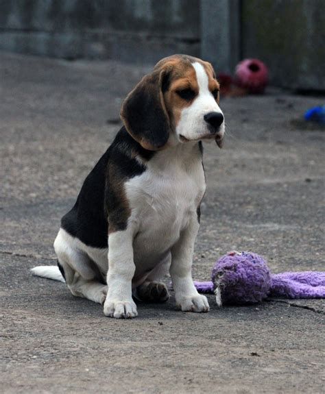 beagle puppy for sale beagle puppy for sale nottingham nottinghamshire pets4homes