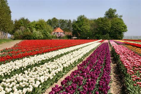 ci di fiori in olanda festival dei fiori in olanda le sfumature dei tulipani in