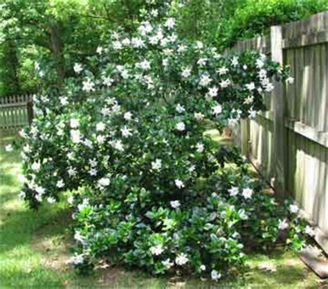 Gardenia Bush Care How To Grow And Care For Gardenia Plants