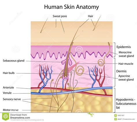 human skin structure royalty free vector image human skin anatomy labeled version stock vector illustration of corneum 18631487