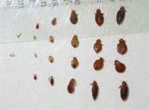 what does bed what do bed bugs look like basic information about bedbugs