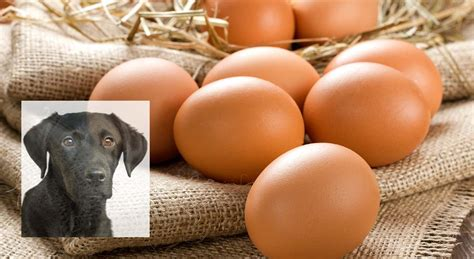 can dogs eggs can dogs eat eggs a food safety guide by the labrador site