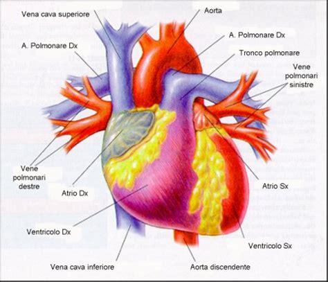 vasi polmonari anatomia e fisiologia cuore fisiologicamente