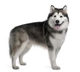 Alaskan Malamute   Facts and Breed Information   Pets World