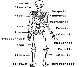 skeleton diagram quiz human skeleton quiz acorn electron world