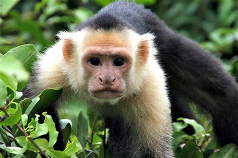 Capuchin monkey | Fun Facts You Need to Know!