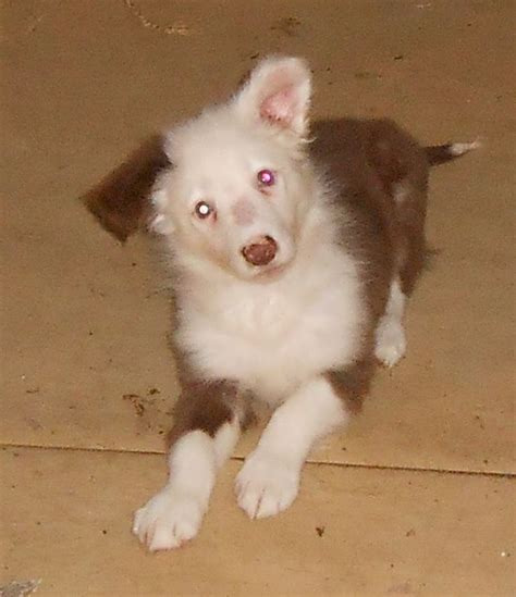 special needs puppies for sale rescue deaf collie pup needs special home rotherham south pets4homes