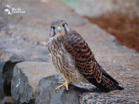 kestrel falco tinnunculus canariensis birds company
